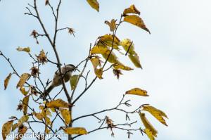Cincia bigia (117) Carpino bianco
