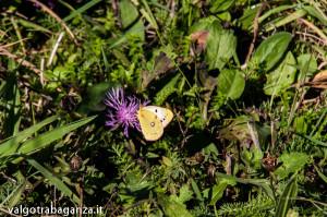 Farfalla Colias alfacariensis (103)