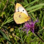 Farfalla Colias alfacariensis (105)