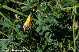 Farfalla Colias alfacariensis (111)