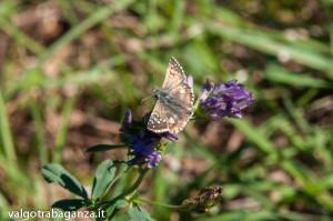 Farfalla Pyrgus malvoides (101)