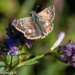 Farfalla Pyrgus malvoides (107)