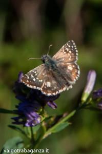 Farfalla Pyrgus malvoides (111)