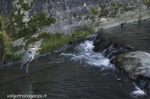 Airone cenerino (101) Pelpirana Bedonia
