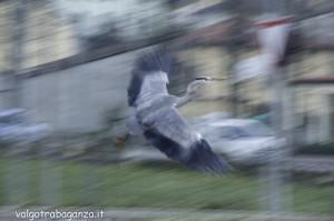 Airone cenerino (125) in volo