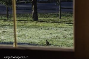 Picchio verde (100) Picus viridis