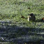 Picchio verde (117) Picus viridis