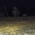 Cervi al pascolo (i100) notturno (1)
