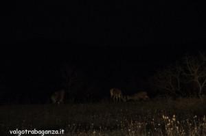 Cervi al pascolo (i100) notturno (32)
