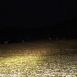 Cervi al pascolo (i100) notturno (8)