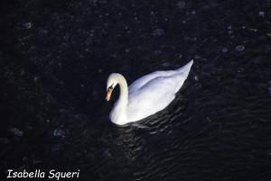 Cigno Bianco Reale (104) Taro Compiano