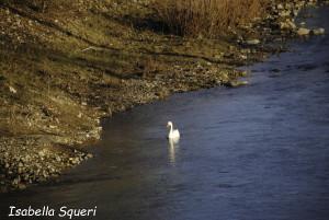Cigno Bianco Reale (106) Taro Compiano