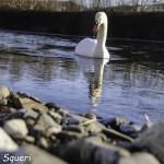 Cigno Bianco Reale (139) Taro Compiano