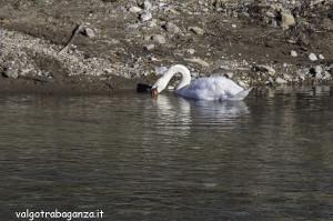 Cigno Bianco Reale (140) Taro  Compiano (PR)