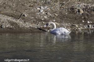 Cigno Bianco Reale (141) Taro  Compiano (PR)