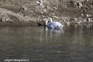 Cigno Bianco Reale (142) Taro  Compiano (PR)