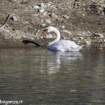 Cigno Bianco Reale (146) Taro  Compiano (PR)