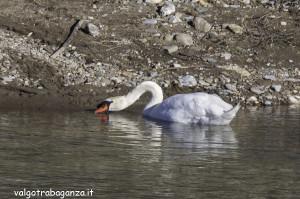 Cigno Bianco Reale (157) Taro  Compiano (PR)