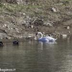 Cigno Bianco Reale (160) Taro  Compiano (PR)