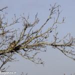 Fringuello (105) ramo