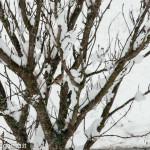 Fringuello neve (111) natura