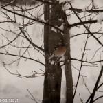 Fringuello neve (120) natura