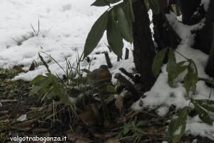 Pettirosso (105) sotto cespuglio