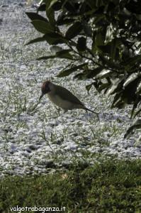 Picchio (108) neve