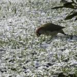 Picchio (112) neve