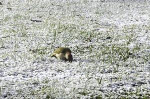 Picchio (125) neve