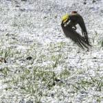 Picchio (133) neve