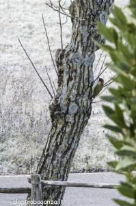 Picchio verde (101) Picus viridis