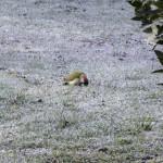 Picchio verde (109) Picus viridis