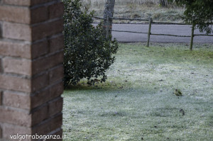 Picchio verde (124) Picus viridis
