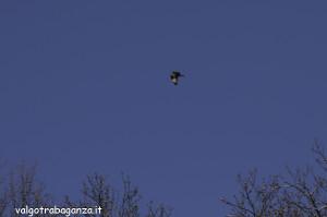 Poiana (102) volo