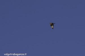 Poiana (105) volo