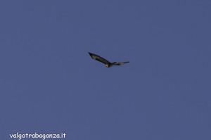 Poiana (110) volo