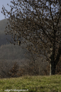 poiana comune (139) Buteo buteo