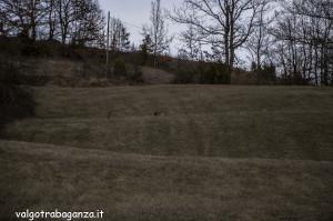 Caprioli  pascolo (112) Albareto