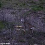 Capriolo maschio (102)  palchi  Velluto