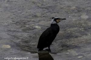 Cormorano comune (115) Borgotaro