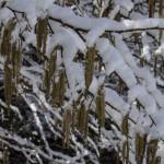 Nocciolo in fiore (101) neve