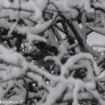 Passera d'Italia o Passero italiano (101) neve