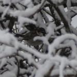 Passera d'Italia o Passero italiano (102) neve