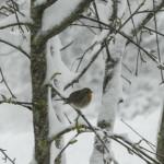 Pettirosso (107) bufera neve