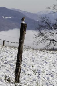 Pettirosso (107) sul palo