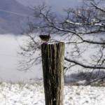 Scricciolo comune (108) neve