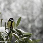 Cinciallegra (104) inverno