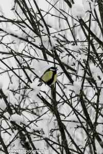 Cinciallegra (119) nella neve