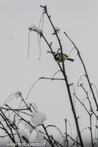 Cinciallegra (125) nella neve